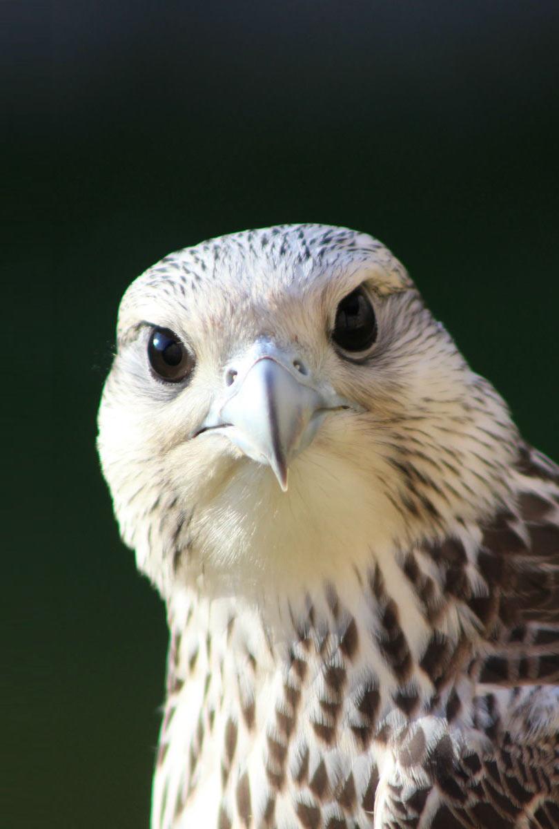 Hero Falcons